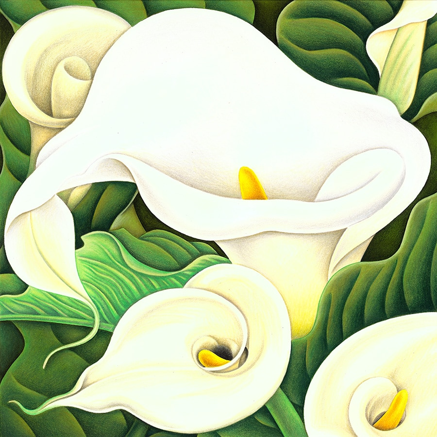 Hand Drawn Illustration Library. Illustration 6 'Arum Lilies' (Pixel dimensions available w3398 x h3398)