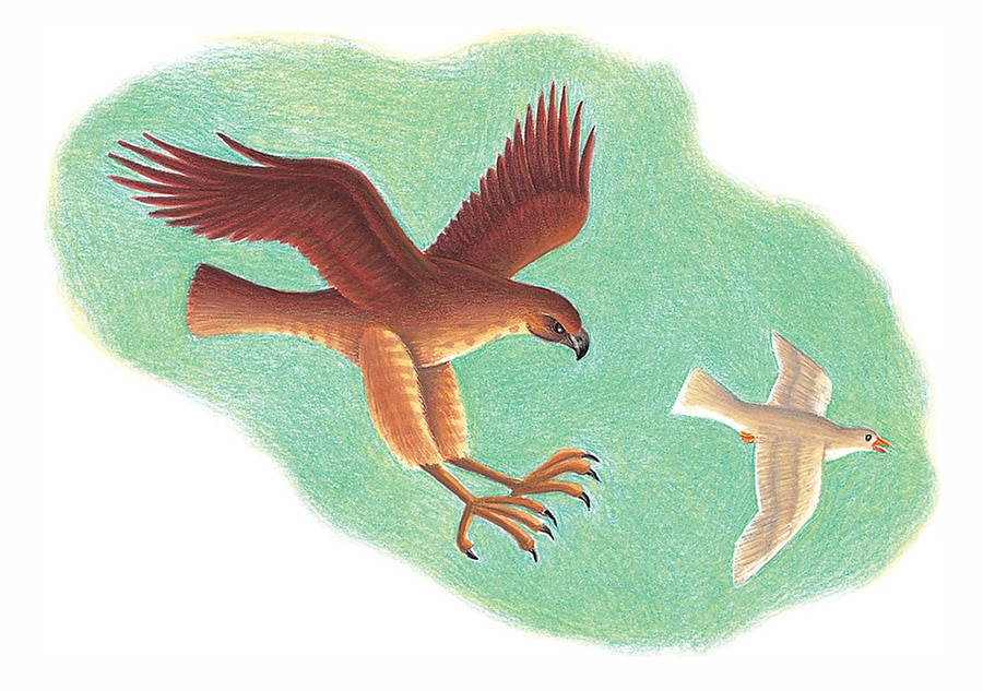 Prince of the Birds Gallery. Illustration 10 'The Hawk chasing the Dove' (Pixel dimensions available w1241 x h873)