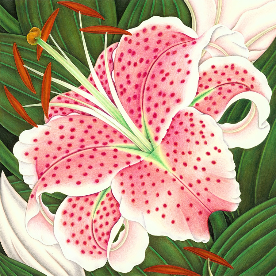 Hand Drawn Illustration Library. Illustration 5 'Stargazer Lily' (Pixel dimensions available w3398 x h3398)