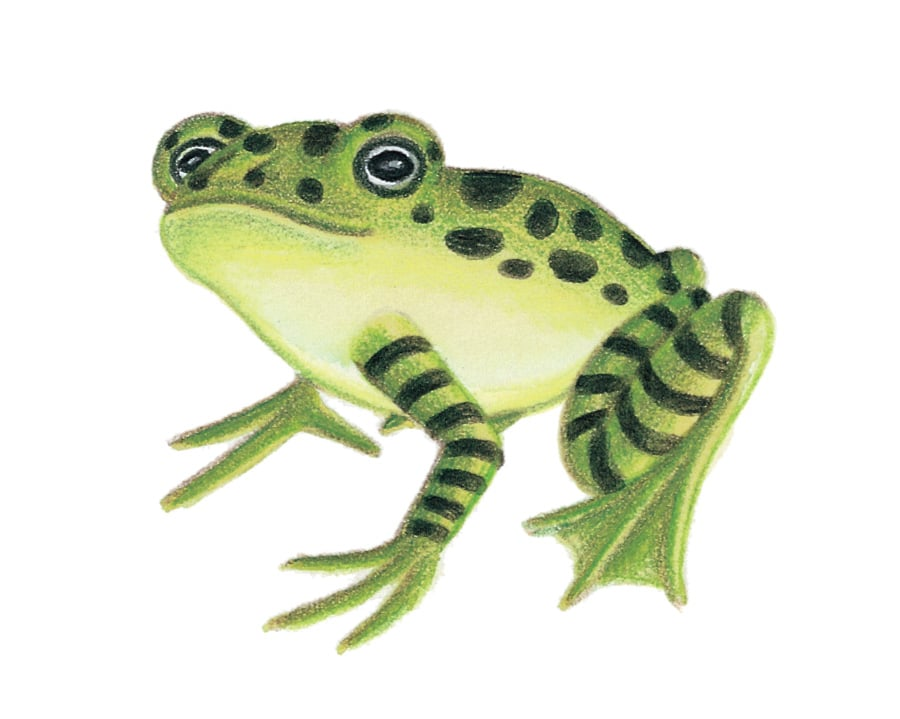 Illustration 12 'The Frog' (Pixel dimensions available w626 x h546)