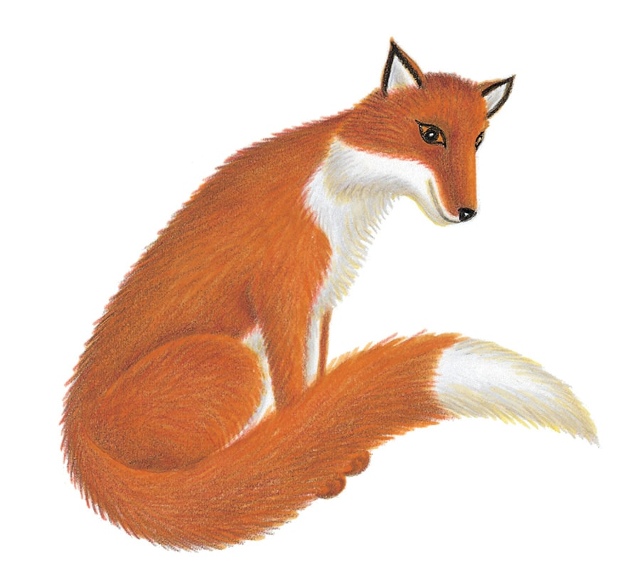 Illustration 16 'The Fox' (Pixel dimensions available w868 x h831)