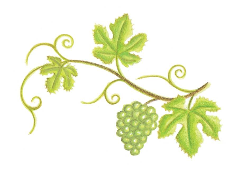 Illustration 6 'Grape Vignette' (Pixel dimensions available w768 x h553)
