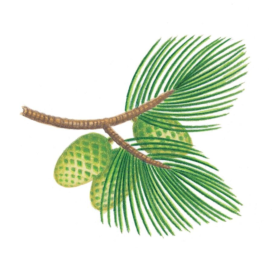 Illustration 9 'Pine Vignette' (Pixel dimensions available w765 x h776)